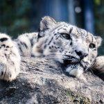 【平川動物園】ホワイトタイガーの行く末は処分かどうなる?飼育員の安否次第!