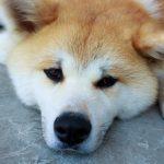 【笑ってコラえて】ジャーマンくんジャーマン(名前)の犬種・画像は?竹内涼真と旅した犬(ネタ掘れワンワンの旅)